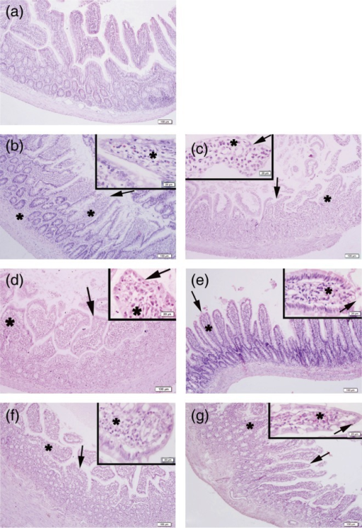 Representative micrographs of the ileal tissue in the experimental groups (a). Regular villi morphology with epithelium and lamina propria in the control group (b). Epithelial desquamation (arrows) and severe inflammatory cell infiltration (stars) in the irradiated rats in early (b) and late (c) phases. Regular surface epithelium (arrows) and moderate inflammation in atropine-treated irradiated rats in early (d) and late (e) phases. Regular surface epithelium (arrows) and mild inflammation in physostigmine-treated irradiated rats in early (f) and late (g) phases. H&E staining, scale bars: 20 µm, insets: 100 µm.