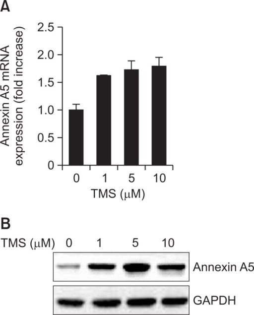 TMS induces annexin A5 mRNA and protein expression in MCF-7 cells. MCF-7 cells were treated with various concentrations of TMS (0, 1, 5, or 10 μM) for 48 h. The mRNA and protein levels of annexin A5 were determined using quantitative real-time PCR and Western blot analysis. Total RNA was isolated and human annexin A5 genes were amplified with specific primers. Expression of GAPDH mRNA was determined as a RNA control. Total cellular lysates were prepared for Western blot analysis using annexin A5 antibody. GAPDH was used as a loading control. (A) Quantitative real-time PCR, (B) Western blot analysis. The data shown are representative of three independent experiments.