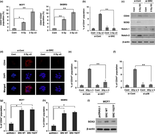 Irradiation promotes breast cancer stem cell populations through SRC signaling. (a) Quantification of CD44+/CD24− cell population by FACS analysis in MCF7 and SKBR3 cancer cells after irradiation. (b) Quantification of CD44+ cell population by FACS analysis in MCF7 cancer cells transfected with siRNA targeting SRC (si-SRC) or scrambled control siRNA (si-Con) prior to irradiation. (c, d) Western blot analysis for CD44, SOX2, Notch-1, and Notch-2 (c), and immunocytochemistry for CD44 (d) in MCF7 cancer cells transfected with siRNA targeting SRC or scrambled control siRNA prior to irradiation. (e, f) Quantification of the CD44+ cell population by FACS analysis in MCF7 cancer cells transfected with siRNA targeting AKT (si-AKT) (e) or p38 MAPK (si-p38) (f) prior to irradiation. (g, h) Quantification of the CD44+ cell population by FACS analysis in MCF7 (g) and SKBR3 (h) cancer cells 48 h after transfection with SRC WT, mutant form SRC Y527F, or control vector pcDNA3.1. (i) Western blot analysis for SOX2 in MCF7 cells 48 h after transfection with SRC WT, mutant form SRC Y527F, or control vector pcDNA3.1. β-actin was used as a loading control. Error bars represent mean ± SD of triplicate samples. *P < 0.05; **P < 0.01. Cont, control.