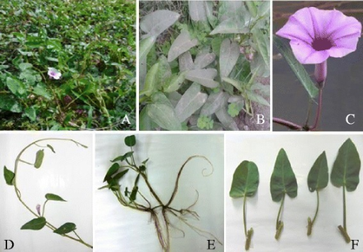 The morphology ofI. aquaticaForssk. Panel A. The plant floating on water; Panel B. The plant creeping on moist soil; Panel C. The funnel form flower of I. aquatica; Panel D. flowering twig with simple and alternate leaves; Panel E. rooting at nodes; Panel F. leaves arise from nodes.