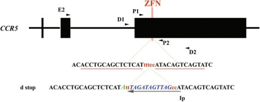 Primers map and donor plasmid generation. Illustration of the CCR5 locus and primer locations. Upper panel: ZFN-targeted DNA sequence (underlined) and the interspace. Lower panel: DNA sequences of the d-plasmid around the ZFN site and the insertion-specific primer (IP); a silent T-A mutation adjacent to the left ZFN-targeted site was intentionally selected for confirmation and marking of the vicinity of integration between the ZFN-binding sites.