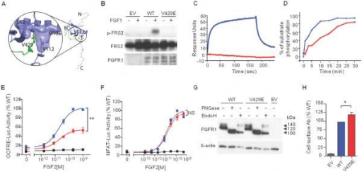 The V429E substitution in FGFR1 impedes recruitment and phosphorylation of FRS2α and FGF2-induced MAPK signaling(A) Analysis of the impact of the V429E mutation based on the NMR structure of the FRS2 phosphotyrosine binding (PTB) domain in complex with the juxtamembrane (JM) region peptide of FGFR1. The FRS2 PTB domain and FGFR1 JM peptide are shown as purple and green ribbons respectively, and side chains of the V429 of FGFR1 and L62, M105, V112 of FRS2 are rendered in sticks. The molecular surfaces of L62, M105, and V112 of FRS2 PTB are also shown, to highlight their hydrophobic contacts with V429 of FGFR1.(B) The V429E FGFR1c mutant fails to phosphorylate FRS2 in cell based assay. BaF3 were transfected with lentiviral vectors expressing WT or V429E FGFR1c and FRS2 phosphorylation was assessed upon FGF1 treatment by western blotting using anti phospho-FRS2-α specific antibodies . WT: wild type; EV: empty vector.(C) Analysis of the impact of the V429E mutation on the ability of FGFR1 to recruit FRS2α . The assay was based on FGFR2 V430E, which is equivalent to FGFR1 V429E. Increasing concentrations of FGFR2CDWT and FGFR2CDV430E (carrying the equivalent mutation to FGFR1-V429E) ranging from 12.5 to 400 nM were passed over a CM5 chip onto which FRS2α had been immobilized. As representative of the full dataset, binding responses obtained for injections of 200 nM of FGFR2CDWT or FGFR2CDV430E are shown. The rising and falling parts of the wild type curve (blue) represent the association and dissociation phases, respectively, of FGFR2CDWT-FRS2α binding over time. At 200 nM, FGFR2CDWT exhibits maximal binding of 55 response units (blue), whereas FGFR2CDV430E shows negligible binding (red). According to a steady-state equilibrium analysis of the full data sets (not shown), FGFR2CDWT binds FRS2α with a KD of 320 nM, whereas the FGFR2CDV430E negligible binding to FRS2α.(D) The V429E mutation reduces the ability of FGFR1 to phosphorylate FRS2 on Y196 in vitro. FGFR2WT and FGFR2V430E mutant kinases were allowed to phosphorylate FRS2 fragment PTB9-200 on Y196, a tyrosine phosphorylation site known to be required for Grb2 recruitment, at room temperature for 0, 1, 3, 5 10, 15, 20, 25, 30 minutes. Following tryptic digestion, samples were analyzed by Orbitrap mass spectrometry to quantify the phospho-Y196-containing tryptic peptide. FGFR2WT is shown in blue and FGFR2V430E is shown in red.(E-F) The V429E mutation is loss-of-function in the OCFRE reporter assay (FRS2α dependent MAPK signaling) and not different from WT in the NFAT reporter assay (FRS2α independent PLCγ /IP3/Ca2+ signaling). Data shown represent the means ± S.E.M. of 3 experiments. FGFR1 WT is shown in blue, FGFR1V429E in red, empty vector in black. Relative to the maximal stimulation of WT (%), ** p<0.001, NS: not significant.(G) Total abundance and maturation of recombinant FGFR1 proteins. COS-7 cells were transfected with FGFR1 constructs and the cell lysates were subjected to deglycosylation treatment followed by western blot analysis. PNGase-treated bands represent total protein abundance levels; 140kDa Endo H-treated bands represent the mature form while 100kDa Endo H-treated bands represent immature form of FGFR1. The experiment was performed three times, tested by Mann-Whitney test for statistic significance, no significant difference in overall expression and maturation index between WT and V429E. PNGase: Peptide N-Glycosidase F-treated; Endo H: endoglycosidase H-treated; WT: wild type; EV: empty vector.(H) Cell surface abundance of the transiently transfected FGFR1 mutant in COS-7 cells. Cell surface abundance levels were measured by a radiolabeled antibody binding assay and plotted as a percentage of wild type levels. The abundance level of cell surface expressed FGFR1V429E was significantly higher than FGFR1wt. Values shown are the means ± SEM of 3 experiments each performed in quadruplicate. The difference between the mutant and the wild type receptor expression was compared by Mann-Whitney test, * p<0.05.