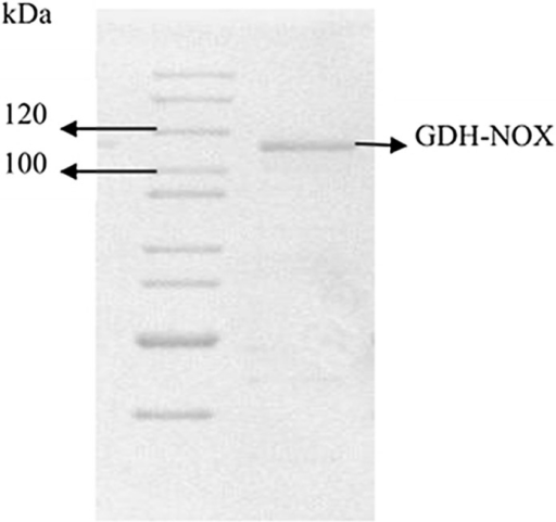 10% SDS-PAGE analysis of the purification fused GDH-NOX.Line 1: protein marker; Lane 2: purified GDH-NOX with His-tag.