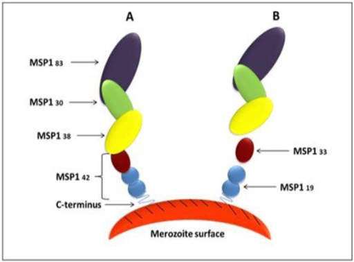 Schematic showing processing of merozoite surface protein 1 (MSP1). Panel (A) shows primary processing, and (B) shows secondary processing