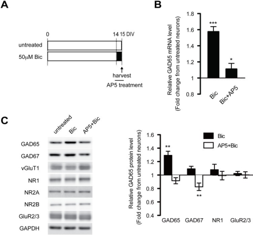 Chronically increased activity enhances GAD expression via a Ca2+-dependent mechanism triggered by NMDA-R activation.(A) Cultured cortical neurons were treated with 50 μM bicuculline in the presence or absence of AP5 (200 μM) on DIV14 for the final day in the culture and were harvested on DIV15. (B) Shows relative mRNA expression levels of GAD65 in cultured cortical neurons treated as shown in (A). F(2, 46) = 43.72 (p < .0001), one-way ANOVA. (n = 3–6 in each group). (C) Relative protein levels of GAD65, GAD67, NR1, and GluR2/3 measured by immunoblotting. Bicuculline induced a significant increase in GAD65 protein that was completely blocked by AP5. GAD67: F(2, 25) = 14.09; GAD65: F (2, 23) = 21.78 (p < .0001), one-way ANOVA. (n = 3–5 in each group). Bic: bicuculline.