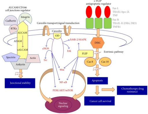 Graphical scheme that illustrates the general structures and action principles for ALCAM, c-FLIP, and caveolin (RTKs: tyrosine kinase receptors, OD: caveolin scaffolding domain, Fas-R/Fas-L, TRAIL/TRAIL-R (DR4, DR5), TNF/TNF-R: death-receptor mediated apoptosis pathway, DISC: Death Inducing Signaling Complex, cas-8: caspase-8, cas-10: caspase-10, and eNOS, Src, ErbB-2/MAPK, Erk, Wnt, NF-κB, and PI3K/AKT/mTOR: signaling pathways).
