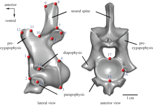 Landmark set used in the geometric morphometric analysis. The numbered three-dimensional landmarks (red points) are shown on the fourth cervical vertebra of A. mississippiensis (three-dimensional scan). Detailed definitions of the 17 homologous landmarks are provided in the electronic supplementary material.