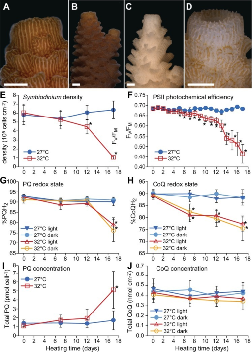 Effects of thermal stress on physiological parameters of the scleractinian coral Acropora millepora.Images of representative coral nubbins demonstrating the visual difference in Symbiodinium cell densities within A. millepora tissues under control (27°C) (A—B) and thermal stress (32°C) (C—D) conditions at day 17 (end of experiment). Scale bars = 1 mm. Thermal stress effects on (E) Symbiodinium density; (F) photosystem II photochemical efficiency; (G) plastoquinone (%PQH2) and (H) coenzyme Q (%CoQH2) pool redox states; (I) total plastoquinone concentration (PQ + PQH2) per Symbiodinium cell and (J) total coenzyme Q concentration (CoQ + CoQH2) per coral surface area over the course of the experiment. All data points are means ± 95% CI; * indicate significant differences between control and treatment at p < 0.05; n = 6–12 (see Table 1 for details).