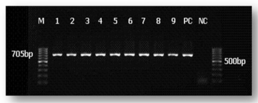 Electrophoresis image of bp705 section of Pvdhps gene with nine isolates of P. vivax in Hormozgan ProvinceM: 100bp DNA Ladder Numbers: The isolated numbers PC: Positive Control NC: Negative Control