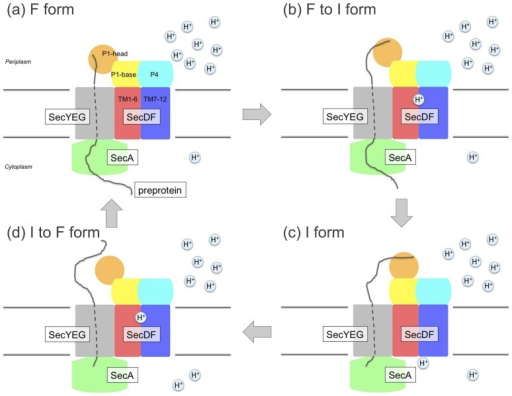 Working model of PMF-driven protein translocation by SecDF. (a), F form, preprotein-capturing state. (b), F form to I form, preprotein-holding state (c), I form, preprotein-releasing state, (d) I form returned to F form.