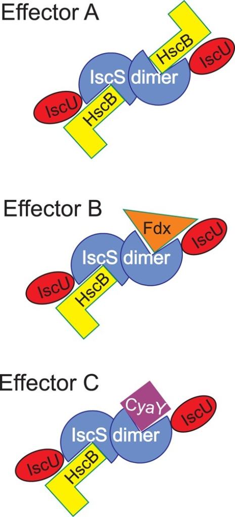 Scheme to illustrate the possible regulation of the IscS interactions. Different effectors may signal which components are bound to IscS at any time point keeping in mind that IscS is a dimer. The possibility of occupying two independent binding sites also makes room for the possibility that allosteric mechanisms may operate.