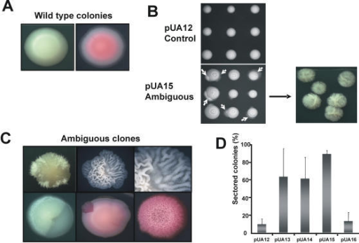 Ambiguous CUG decoding triggered morphogenesis and phenotypic switching.A) Smooth colony morphology of control clones growing on MM-uri-phloxin B (50µg/ml) agar plates. B) Ambiguous pUA15 clones formed long hyphae, even in absence of external inducers, just growing in MM-uri agar plates at 30°C. Similar results were obtained for pUA13 and pUA14 ambiguous clones (data not shown). D). Expression of S. cerevisiae tRNALeu in C. albicans also induced phenotypic switching, which is characterized by transition between different cell-phase forms, namely white-opaque and myceliated-unmyceliated, giving rise to sectored colonies. D) Phenotypic switching was quantified by counting sectored colonies grown in MM-uri, after 7 days of incubation at 30°C. For each plasmid, up to 10 clones were plated and 3000 colonies were screened.