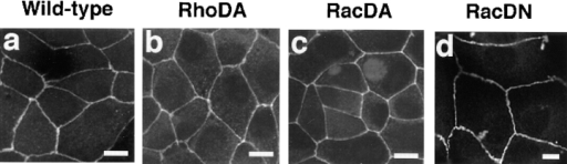 Localization of ZO-1 in sMDCK-RhoDA-5, -RacDA-1,  and RacDN-2 cells. Wild-type MDCK cells (a), sMDCK-RhoDA-5  cells (b), sMDCK-RacDA-1 cells (c), and sMDCK-RacDN-2  cells (d) were stained with the anti–ZO-1 mAb and analyzed by  confocal microscopy. Confocal images are shown at the junctional levels. Note that the scale in RacDN panels (d) is different  from those in the other panels. The results shown are representative of three independent experiments. Bars, 10 μm.