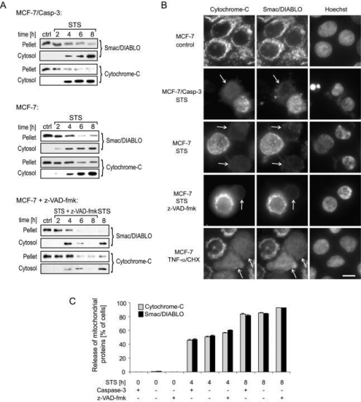 Comparison of Smac/DIABLO and cyt-c release during apoptosis: effect of Casp-3 and z-VAD-fmk–sensitive caspases. (A) MCF-7/Casp-3 cells and MCF-7 cells were treated with 3 μM STS or 3 μM STS plus 200 μM of the broad-spectrum caspase inhibitor z-VAD-fmk for the indicated time periods. Release of Smac/DIABLO and cyt-c from the mitochondria-containing pellet fractions into the cytosol was analyzed by Western blotting. Controls were treated with DMSO. Experiments were repeated twice with similar results. (B) Immunofluorescence analysis showing the redistribution of cyt-c and Smac/DIABLO during apoptosis. Cells were treated with 3 μM STS, 3 μM STS plus 200 μM z-VAD-fmk or 200 ng/ml, and 1 μg/ml TNF-α/CHX for 6 h. Control cells received vehicle (DMSO). Arrows indicate cells that show a cyt-c and Smac/DIABLO redistribution in response to the agents. Nuclear morphology was detected by Hoechst staining. Bar, 10 μm. (C) Quantification of cells showing cyt-c or Smac/DIABLO release as judged by immunofluorescence analysis. MCF-7/Casp-3 cells (indicated as Casp-3 +) were treated with 3 μM STS. MCF-7 cells (indicated as Casp-3 −) were treated with 3 μM STS in the presence or absence of 200 μM z-VAD-fmk. Data were collected from n = 200–300 cells per treatment in 11–14 randomly selected image frames from n = 3 independent experiments. There was no statistically significant difference between the three treatment groups or between cyt-c and Smac/DIABLO release at any time point investigated. Error bars equal SEM.