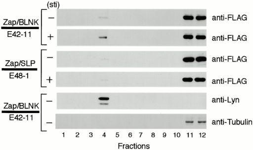 Western blot analysis of GEM fractions. After stimulation by M4 for 3 min, GEMs were prepared from E42-11 or E48-1 cells (4 × 108) by sucrose density gradient centrifugation. 40 μl of the individual fractions, except for fractions 11 and 12 (2 μl), were analyzed by Western blotting using anti-FLAG mAb, anti-Lyn Ab, or antitubulin mAb.