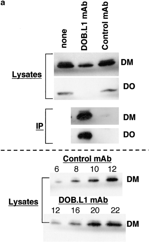 Fraction of HLA-DM molecules bound to HLA-DO in B cells. (a) The top panels (lysates) show Western blot analysis of Raji B cell lysates before or after preclearing with anti-DO or control mAb, as indicated. The middle panels (IP) show Western blot analysis of immunoprecipitates generated with the anti-DO (DOB.L1) or control mAb. Blots were stained with mAb 4.7GS (DM) or DOB.L1 (DO). The bottom panels show DM Western blot analysis of titrations of Raji cell extracts depleted with anti–HLA-DO or with control antibody. Numbers indicate sample quantity (cell equivalents × 10−4) loaded in each lane. (b) Similar analysis with purified peripheral blood B cells.