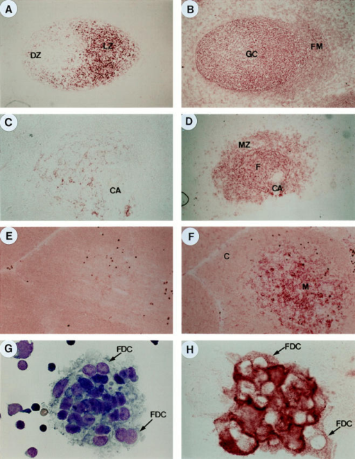 mAb 7D6 specifically stains FDC networks within  tonsillar and splenic GCs or  FDCs in isolated form. (A) Red  mAb 7D6 staining of FDC networks within a GC of human  tonsil (DZ, dark zone; LZ, light  zone; ×200). (B) Red antiCD21 staining of FDC networks  and B lymphocytes within the  follicular mantle (FM) and extrafollicular area (A and B show  the same secondary follicle on  two serial sections). (C) mAb  7D6 staining of FDC networks  within a primary follicle of human spleen (CA, central arteriole; ×200). (D) anti-CD21  staining of FDC networks as well  as follicular B cells and marginal  zone (MZ) B cells (C and D  show the same splenic white  pulp on two serial sections). (E)  Negative mAb 7D6 staining on  human thymus (×200). (F) Positive staining of anti-ICAM1/ CD54 on human thymus (E and  F show the same thymic area on  two serial sections) (C, cortex.  M, medullar). (G) Giemsa staining of isolated FDC-lymphocyte  clusters. FDC can be recognized  as cells containing one or two  big round nuclei with decondensed chromatin and clear nucleoli (×1000). (H) mAb 7D6  staining of isolated FDCs.