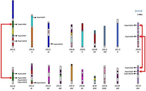 Distribution of CAD genes on Populus chromosomes. The names of the chromosomes and their sizes (Mb) are indicated below each chromosome. Segmental duplicated homeologous blocks [39] are indicated with the same color. The position of genes is indicated with an arrowhead.