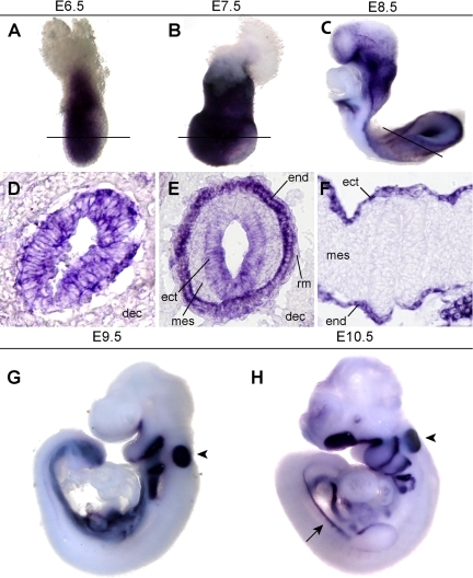 Expression of Cldn6 from commencement of gastrulation to the early stages of gut tube organogenesis. A,D: Expression at E6.5 is quite broad throughout the epiblast, with the exception of the primitive streak and visceral endoderm. Similar expression is seen at E7.5 (B,E). C,F: By E8.5, expression begins to be restricted to the endoderm and by E9.5 (G) and E10.5 (H), expression is restricted to the endoderm, otic vesicle (arrowhead), and mesonephros (arrow). A–C are representative whole mount stainings for the sections in D–F), respectively. Embryos in D–F were sectioned in their deciduas. Plane of section is indicated by a line in the corresponding whole mount embryo. For E, posterior is facing up. dec, decidua; ect, ectoderm; mes, mesoderm; end, endoderm; rm, Reichert's membrane; nf, neural fold; he, heart.