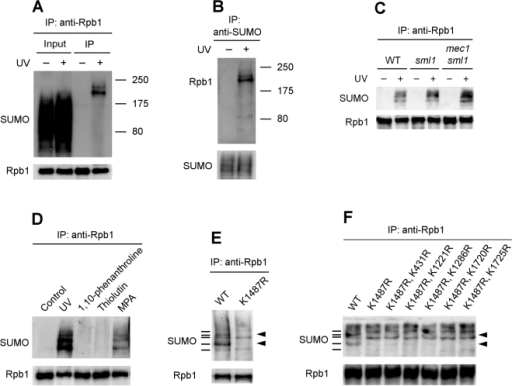 Western blots showing Rpb1 sumoylation in response to UV radiation or impairment of transcription elongation.(A) Rpb1 was immunoprecipitated from the unirradiated and UV irradiated cells using antibody 8WG16 (anti-Rpb1) and probed with anti-SUMO and 8WG16 antibodies. (B) Sumoylated proteins were immunoprecipitated from the unirradiated and UV irradiated cells and probed with 8WG16 and anti-SUMO antibodies. (C) UV-induced Rpb1 sumoylation in wild type (JKM179), sml1 (YFD756) and sml1 mec1 (YAA25) cells. (D) Sumoylation of Rpb1 in response to UV or treatments of transcription inhibitors. (E) UV-induced Rpb1 sumoylation in cells expressing wild type (CX84) or K1487R mutant (CX79) Rpb1. Bars on the left of the blot indicate distinct bands formed by wild type Rpb1. Arrow heads on the right of the blot mark bands abolished by the K1487R mutation. (F) UV-induced Rpb1 sumoylation in cells expressing wild type (CX84) or K to R mutant (CX79, CX105, CX106, CX108, CX110 and CX110) Rpb1. Bars on the left of the blot indicate distinct bands formed by wild type Rpb1. Arrow heads on the right of the blot mark bands not shown by the mutant Rpb1. WT, wild type.