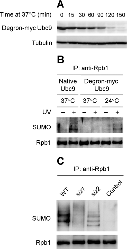 Western blots showing the roles of Ubc9 and Siz1 in UV-induced Rpb1 sumoylation.(A) Degradation of degron-myc tagged Ubc9 upon shifting to nonpermissive temperature (37°C) in galactose containing medium (to induce the expression of plasmid pKL142 encoded Ubr1, a ubiquitin E3 ligase). Tubulin serves as an internal loading control. (B) Abolishment of UV-induced Rpb1 sumoylation when Ubc9 was depleted. Rpb1 was immunoprecipitated from the cells cultured at the indicated conditions using antibody 8WG16 and probed with anti-SUMO and 8WG16 antibodies. (C) The roles of Siz1 and Siz2 in UV-induced Rpb1 sumoylation. Rpb1 was immunoprecipited from the UV irradiated wild type (BY4741) and mutant (strains 4245 and 2412) cells using antibody 8WG16 and probed with anti-SUMO and 8WG16 antibodies. The control was a sample prepared from unirradiated wild type cells. WT, wild type.