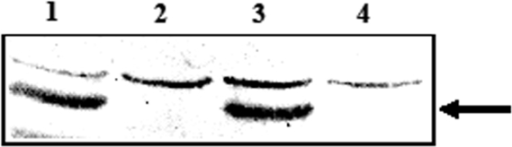 Expression of C-fragment in attenuated S. typhimurium BRD509.Western immunoblots showing expression of C-fragment encoded on various plasmids. Cell lysates of (1) BRD509 (pTETtac4), (2) BRD509, (3) BRD509 (pcDNA3/Cfrag), and (4) BRD509 (pcDNA3) probed with polyclonal anti-tetanus toxin antiserum. C-fragment expression is indicated by the arrow.