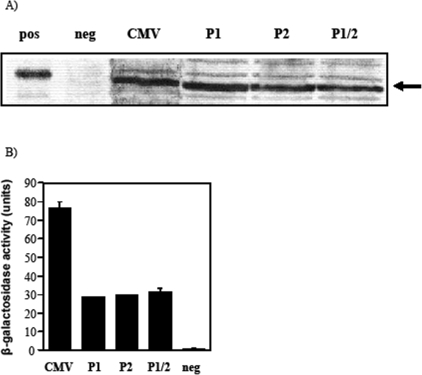 Bacterial promoter activity of the original and mutated CMV promoter.(A) Western immunoblots showing expression of C-fragment from S. typhimurium BRD509 containing pcDNA3/Cfrag (CMV), pcDNA3/Cfrag-P1 (P1), pcDNA3/Cfrag-P2 (P2), or pcDNA3/Cfrag-P1/2 (P1/2). Purified C-fragment (pos) and BRD509 alone (neg) were included as controls. (B) To quantify promoter activity, the unmodified pCMV (CMV), pCMV-P1 (P1), pCMV-P2 (P2) and pCMV-P1/2 (P1/2) were cloned into the β-galactosidase vector and promoter activity expressed as units of β-galactosidase activity. Activity of the empty vector (neg) is included as a negative control.
