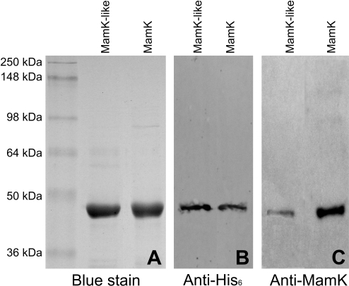 SDS-PAGE and Western blot detection of purified recombinant MamK-like and MamK.A) SDS-PAGE gel (10% acrylamide) with 2 µg of protein per lane stained with Coomassie blue. B) Western blot with 30 ng of protein per lane probed with anti-histidine tag antibody. C) Western blot with 30 ng of protein per lane probed with anti-MamK antibody. Molecular weights (MW) of protein standards are given on the left and apply to all panels. Expected MWs of MamK-like and MamK are 41 and 42 kDa respectively.