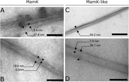 "In vitro polymerization of MamK and MamK-like visualized by TEM.Sizes of structures are indicated with arrows. Structures narrower than 10 nm are termed ""filaments"" and larger structures are termed ""bundles"". A–B) MamK polymers. C–D) MamK-like polymers. Scale bars: 100 nm in A, B and D; 300 nm in C."