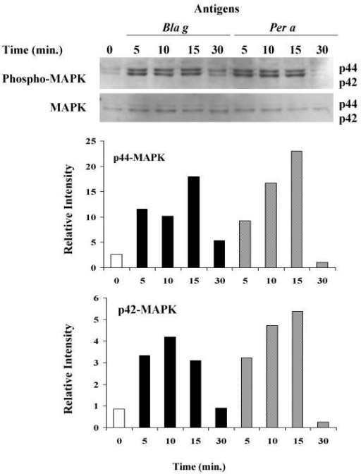 Allergenic extracts from GCA and ACA induced phosphorylation of p44/p42 MAPK. Following exposure of A549 cells to GCA (25 μg/ml) and ACA (25 μg/ml) at indicated time points, total protein extracts were evaluated by western immunoblotting with antibodies specific for phosphorylated and non-phosphorylated p44/p42 MAPK. Phospho-p44/p42 MAPK bands were quantified by densitometry and normalized to p44/p42 MAPK levels of intensity. The experiment was repeated twice. A representative experiment is shown.