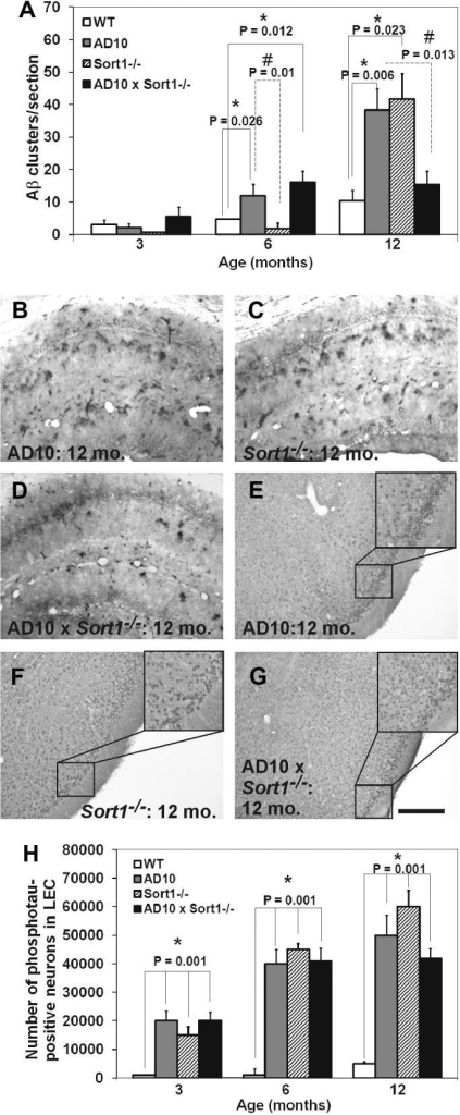 Measurements of APP/Aβ clusters of dystrophic neurites in the hippocampus and of phosphorylated tau in lateral entorhinal cortex. (A) Quantification of the number of clusters at 3, 6 and 12 months of age. (B–D) Qualitative images of APP/Aβ amyloid clusters in (B) AD10, (C) Sort1−/− and (D) AD10×Sort1−/− hippocampus at 12 months of age. (E–G) Qualitative images of phosphotau-imunoreactive neurons in the lateral entorhinal cortex from (E) AD10 (E) Sort1−/− and (G) AD10×Sort1−/− mice at 12 months of age. (H) Quantification of the number of phospho-immunoreactive neurons at 3, 6 and 12 months of age in the LEC. All transgenic mice show an increase of phospho-tau immunoreactive neurons from 3 months of age with respect to WT mice. Bars are representative of mean  ± SEM. ∗P < 0.05 versus WT mice. #P < 0.05 versus AD10 and Sort1−/− mice. Scale bar = 250 μm.