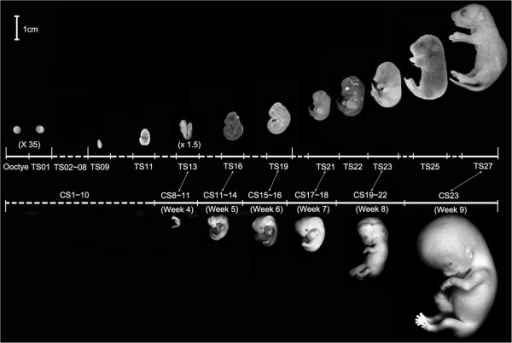 Morphological comparisons of mouse and human embryo development. Mouse embryonic stages (Theiler stages or TS) are based on somite number and characteristics [26]. There are 28 TS stages from the fertilization to birth, which is about 20 days post conception (dpc). Only 11 stages are shown. Human embryo stages were described by the Carnegie Institution of Washington, which are based on the developmental structures, not by size or the number of days of development [27]. The 23 Carnegie stages (CS) only covers the first 60 days of human embryo development, thereafter that the term embryo is replaced with fetus. 5 human embryos at 4-9th week are shown here. The double headed arrows point to human and mouse embryos at similar stages of organogenesis.
