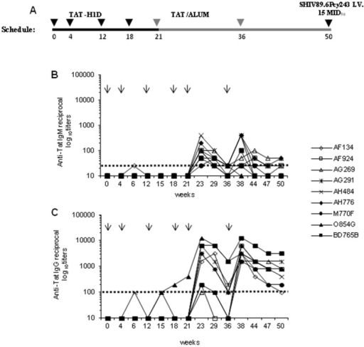 Schedule of immunization and anti-Tat antibody responses in cynomolgus monkeys vaccinated with Tat/H1D and Tat/Alum.(A) Nine monkeys were injected intramuscularly with Tat/H1D microspheres at weeks 0, 4, 12 and 18, and boosted subcutaneously with the Tat in Alum at weeks 21 and 36, respectively. Nine control monkeys were primed with H1D alone boosted with Alum alone. (B) IgM and (C) IgG antibody titers in vaccinated monkeys. The arrows on the top of the each panel indicate the time at which the Tat/H1D, the Tat/Alum or H1D and Alum alone were given. The dashed lines indicate the cut-off values (samples showing titers <1∶25 for IgM and <1∶100 for IgG were scored as negative).