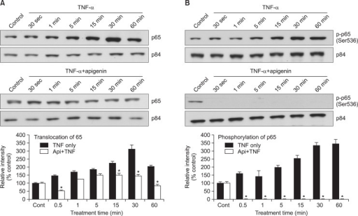 Effect of apigenin on TNF-α-induced nuclear translocation of NF-κB p65 and phosphorylation of p65. NCI-H292 cells were either untreated or pretreated with 20 μM apigenin for 24 h at 37°C and then stimulated with TNF-α (50 ng/mL) for the indicated periods. Nuclear protein extracts were prepared and resolved on 10% SDS-PAGE, transferred onto a PVDF membrane, probed with antibody against p65 (A) or phospho-specific p65 (Ser 536) antibody (B). The results shown are the representative of three independent experiments. To ensure equal protein loading, the membrane was reprobed with anti-p84 antibody. *significantly different from TNF-α alone at each time point (p<0.05, Student's t-test) (cont: control, Api: apigenin, TNF: TNF-α).