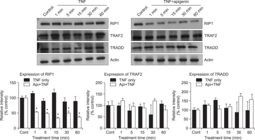 Effect of apigenin on adaptor proteins of TNF receptor (TNFR) 1 signaling. NCI-H292 cells, either untreated or pretreated with 20 μM apigenin for 24 h, were treated with 25 ng/mL TNF-α for the indicated periods. Whole cell lysates were prepared and analyzed by western blotting using antibodies against RIP1, TRAF2 and TRADD. The results shown are representative of three independent experiments. Equal protein loading was evaluated by β-actin. *significantly different from TNF-α alone at each time point (p<0.05, Student's t-test) (cont: control, Api: apigenin, TNF: TNF-α).