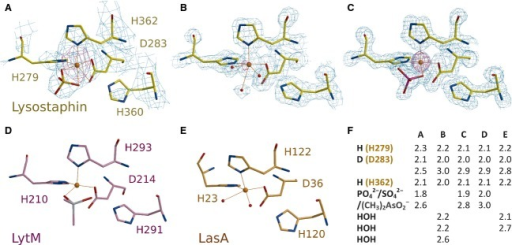 Catalytic sites of lysostaphin and related enzymes. (A) Active sites in the crystals of mature lysostaphin, the catalytic domain crystals were grown in either the absence (B) or presence (C) of phosphate; (D) active LytM and (E) LasA (previously characterized closely related peptidases). (F) Metal–ligand distances (in Å) for (A–E). The low resolution makes interpretation of the density in (A) very tentative. The distances shown in (E) differ between molecules in the asymmetric unit for all presented structures. The electron-density maps shown in cyan in are composite omit maps contoured at 1.5 rmsd. The maps shown in magenta are Bijvoet-difference Fourier (anomalous scattering density) maps calculated with the phases from the final models depleted of Zn2+ ions, and contoured at 6 rmsd.