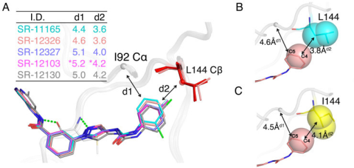 Overlay poses for five JNK3 selective aminopyrazole inhibitors.(A) A superposition of four crystal structures and one computational model of JNK3 39–402 with aminopyrazole complexes. SR-12103 is a computational model (starred) and the other four complexes were derived from the crystal structures. L144 is colored red for the crystal structures and pink for the model structure. The Cα RMSD of 351 residues that are superimposed was between 0.16 and 0.24 Å. The distances d1 and d2 in the insert table represent distances between C5 of the inhibitor phenyl ring and Cα of I92, and C4 of the inhibitor phenyl ring and Cβ of L144, respectively. (B) The crystal structure of JNK3/SR-12326 was chosen as a representative example for all five compounds bound to JNK3 to illustrate the van der Waals distances differences between Leu 144 and Ile144. The C4 of the phenyl ring of the compound, and Cβ of leucine are shown in Van der Waals spheres, and distances between the carbon atoms are also shown. The optimum distances are predicted with metadynamics calculations. (C) A computational model of SR-12326 bound to JNK3 that is mutated to isoleucine in residue 144 (L144I). The C4 of the phenyl ring of the compound, and Cβ and Cγ of isoleucine are shown in Van der Waals spheres, and distances between the C atoms are also shown.