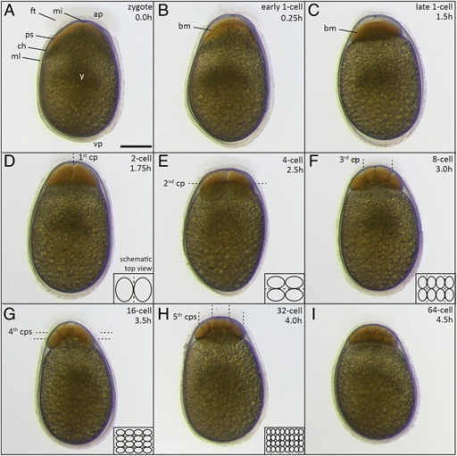 Embryos during cleavage and blastula stages. (A) zygote stage (0 h); (B) early 1-cell stage (0.25 h); (C) late 1-cell stage (1.5 h); (D) 2-cell stage (1.75 h); (E) 4-cell stage (2.5 h); (F) 8-cell stage (3 h); (G) 16-cell stage (3.5 h); (H) 32-cell stage (4 h); (I) 64-cell stage (4.5 h). Schemes illustrate the position of cells and cleavage planes from a top-down view (D-H). Abbreviations: ap, animal pole; bm, blastomeres; ch, chorion; cp(s), cleavage plane(s); ft, filament tuft; mi, micropyle; ml, mucous layer; ps, perivitelline space; vp, vegetal pole; y, yolk. Scale bar = 500 μm.