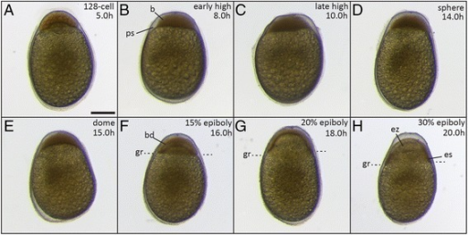 Embryos during late blastula and early gastrulation phases. (A) 128-cell stage (5 h); (B) early high stage (8 h); (C) late high stage (10 h); (D) sphere stage (14 h); (E) dome stage (15 h); (F) 15% epiboly (16 h); (G) 20% epiboly (18 h). (H) 30% epiboly (20 h). The position of the germ ring (gr in F-H) is indicated by the dashed lines. Abbreviations: b, blastodisc; bd, blastoderm; es, embryonic shield, ez, evacuation zone, gr, germ ring; ps, perivitelline space. Scale bar = 500 μm.