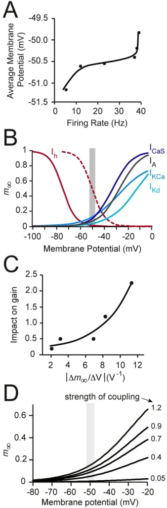 Gain modulation and the voltage dependence of channel activation.(A) The firing rate of the model neuron plotted against the average membrane potential, illustrating the 'dynamic voltage window' of the neuron (∼ -51 to -50 mV). (B) The voltage dependence of steady-state activation variables (m∞) used in our simulations. The shaded area shows the dynamic voltage window from panel A. The dashed line shows the shifted activation curve of Ih used for simulations in Fig. 10 (half-maximal activation of the shifted curve occurs at -50 mV instead of the baseline value of -75 mV). (C) The correlation between change in m∞ within the dynamic voltage window and the 'impact on gain' for each voltage-gated channel (% change in gain per % change in maximal specific conductance from Fig. 3B). Both x and y values are plotted as positive numbers. There is a strong positive correlation (r = 0.92); the fitted line shown is y = 0.134ex/0.004. (D) The effects of different Ca2+-K+ channel coupling strengths (see Methods) on the steady-state activation variable (m∞) of the Ca2+-activated K+ channel. The dynamic voltage window is shaded in grey.