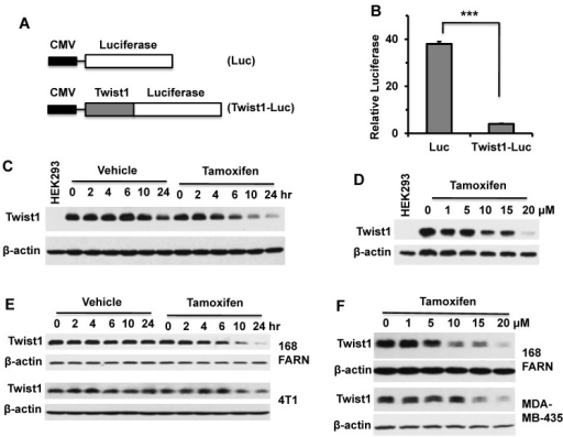 Tamoxifen treatment decreases the cellular levels of Twist1 protein. A. In pQCXIH-Luc and pQCXIH-Twist1-Luc plasmids, the expression of luciferase or Twist1-Luciferase was driven by the CMV promoter. B. HeLa cells transfected with pQCXIH-Luc or pQCXIH-Twist1-Luc plasmids and with a β-galactosidase expression plasmid were treated with vehicle (ethanol) or tamoxifen (10 μM) for 24 hours. Then, the luciferase activity was measured and normalized to the β-galactosidase activity for each sample. Relative luciferase activity was calculated by (Luc activity in tamoxifen-treated cells/Luc activity in vehicle-treated cells) × 100. Data are presented as mean ± SD. ***, P < 0.0001 by t test. C. HEK293 cells with an inducible Twist1 expression system were treated with 1 μg/ml of doxycycline for 12 hours to induce stable Twist1 expression and then co-treated with 1 μg/ml of doxycycline and vehicle or 10 μM of tamoxifen for the time periods as indicated. HEK293 cells without inducible Twist1 expression served as a negative control (Lane 1). Western blot analyses were performed with Twist1 and β-actin antibodies. D. HEK293 cells with inducible Twist1 expression were treated with 1 μg/ml of doxycycline for 12 hours, and then co-treated with 1 μg/ml of doxycycline and different concentrations of tamoxifen as indicated for 24 hours before Western blotting was performed. E. Western blot analyses of Twist1 in 168FARN and 4T1 cells treated with vehicle or tamoxifen (10 μM) for different time periods as indicated. F. Western blot analyses of Twist1 in 168FARN and MDA-MB-435 cells treated with the indicated concentrations of tamoxifen for 24 hours. Results shown in panels B to F are representative results of at least three repeat assays.