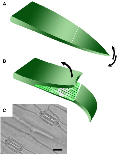 Technique for removing abaxial epidermis. (A) The first true leaf is removed from the plant, bent over the finger adaxial side up, and a cut made across the lamina using a scalpel blade. The tip of the leaf blade is bent back and forth to detach a small section of the mesophyll from the lower epidermis. (B) The upper layer was then peeled back using forceps to leave the lower epidermis attached to the leaf tip. The size of the epidermal peel obtained typically varies from around 1–3 cm. (C) Bright field micrograph illustrating open stomata in a typical abaxial epidermal peel from wheat (20 μm scale bar).