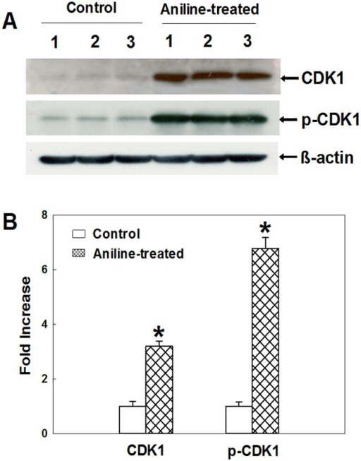 Protein expression of CDK1 and p-CDK1 in rat spleens.(A) Western blot determination of CDK1 and p-CDK1 protein expression in control and aniline-treated rats. (B) Densitometric analysis of protein expressions. Values are mean ± SD; *p < 0.05.