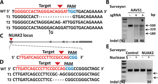 Gene disruption via chip.Plasmids encoding both sgRNA targeting AAVS1 locus or NUAK2 and Cas9 protein were delivered into MCF7 and HeLa cells, respectively. After 7 days of cell culture, genomic DNA was extracted. PCR product sequencing for specific targeting regions was performed. (A) PCR product sequencing data for the sgAAVS1 targeting region. The 20-bp target sequence is shown in red; the PAM sequence is shown in blue. Representative sequences for indels are shown. Short black lines denote different deletions. Black arrow denotes an insertion. (B) Surveyor mutation detection assay for sgAAVS1- and Cas9 protein–mediated indels via chip. Arrows indicate the expected positions of DNA bands cleaved by Surveyor Nuclease S. The symbol * indicates the cleavage lane of DNA bands after cells went through the same chip three times. (C) Illustration of sgNUAK2 targeting region at the first exon. The 20-bp target sequence is shown in red; the PAM sequence is shown in blue. (D) PCR product sequencing data for the sgNUAK2 targeting region. Representative sequences for deletions are shown. Short black lines denote different deletions. (E) Surveyor mutation detection assay for sgNUAK2- and Cas9 protein–mediated indels via chip. Arrows indicate the expected positions of DNA bands cleaved by Surveyor Nuclease S.