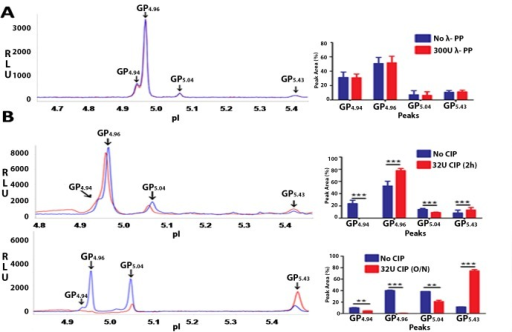 Phosphorylated forms of GRP78 in human sperm.Phosphorylated forms of GRP78 in human sperm were discerned using λ-PP and CIP. Figure shows representative isoelectropherograms of NIA profiles for Normal human sperm post λ-PP (A) and CIP (B)treatment. 100μg of human sperm protein was incubated without or with 300U of λ-PP for 2h at 30°C. For CIP treatment, reactions were incubated for 2h or overnight at 37°C. 20ng of this protein was used for NIA. No significant change was observed in the peak profile post λ-PP reaction (A). On CIP treatment (2h incubation), complete reduction was observed in GP4.94 and significant reduction in GP5.04. Significant increase was observed in GP4.96 and GP5.43[Fig B; upper panel].On overnight incubations with CIP, significant reduction was observed in GP4.94 and GP5.04. GP4.96 was completely reduced and a significant increase was observed in the unphosphorylated form GP5.43[Fig B; lower panel]. Values are expressed as mean ± SD. Graphical representations of the cumulative data for GRP78 peak profiles in sperm post λ-PP / CIP treatments are shown.