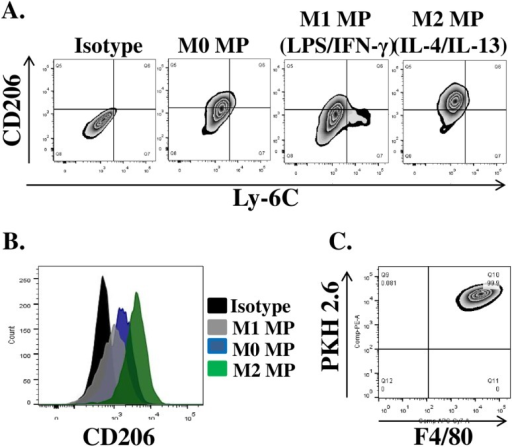 Phenotypic analysis of in vitro polarized BM MPs.MPs were either left untreated (M0) or stimulated with 10ng/ml LPS/IFN-γ and IL-4/IL-13for 42 hours to induce classical (M1) and alternative (M2) activation phenotypes respectively. Flow cytometry was used to evaluate the expression of CD206 and Ly-6C surface proteins. (A) Representative plots of surface protein after in vitro MP polarization, (B) Mean fluorescence intensity of CD206 expression on the surface of polarized MPs, (C) Representative plot of PKH2.6 label and F4/80expression by in vitro polarized macrophages prior to transplantation.