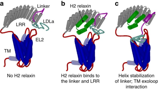 Mechanism of H2 relaxin binding to RXFP1.(a) Cartoon model of the domain structure of RXFP1. (b) H2 relaxin interacts and binds to the linker and LRR domain of RXFP1. (c) Binding of H2 relaxin stabilizes and extends a helix within the linker to orient and enable interactions of the LDLa module and residues within the linker to exoloop-2 of the TMD to facilitate receptor activation. The TMD (blue), LRR domain (grey), LRR-LDLa linker (magenta) and LDLa module (cyan) of RXFP1 are indicated. Additional loops are coloured red with exoloop-2 (EL2) of the TMD annotated. H2 relaxin is coloured green.