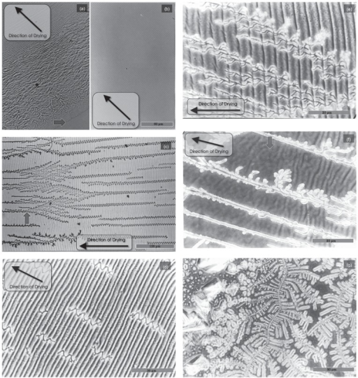 Typical features of the dried sample observed under phase-contrast microscope at a high magnification. The same F-actin solution as shown in Figure 1 was dried at 30°C under normal atmospheric conditions. (a) Panel taken at the peripheral region where the complicated pattern of dried actin filaments was gradually forced to become a periodic pattern. The periphery is indicated by the arrow. (b) The periodic striation pattern spread widely at about 2mm away from the peripheral. Scale bar, 60 μm. (c) Approaching the central region, salt crystals began to grow in a winding manner. A branched salt crystal is shown by the arrow. Scale bar, 120 μm. (d, e) Panels showing close-up views of the area surrounding the salt crystals, which branched in a dendritic manner. Scale bars, 30 μm (d) and 20 μm (e). (f) Periodic textures of the sample gradually diminished as salt crystals grew. Accordingly, an irregular striation pattern appeared, as indicated by the arrow. Scale bar, 20 μm. (g) Only the salt crystals were observed near the center of the sample. Scale bar, 50 μm.