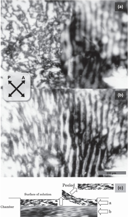 Polarizing micrographs obtained from two different focal planes (a and b) of the sample prepared according to method 2 in a cylindrical chamber and the schematic representation of the sample well and the focal planes (c). (a) Photo taken at the focus near the surface and (b) photo taken at the near-central depth of the solution. The left part of each micrograph was covered with surface structure of the sample and the right part was focused of the area beneath them as revealed by peeling away the dried surface using tweezers, where the striation pattern was observed. Scale bar, 200 μm. The schematic illustration (c) represents the location of the edge of the peeled surface structure and the focal plane taken for panels (a) and (b).
