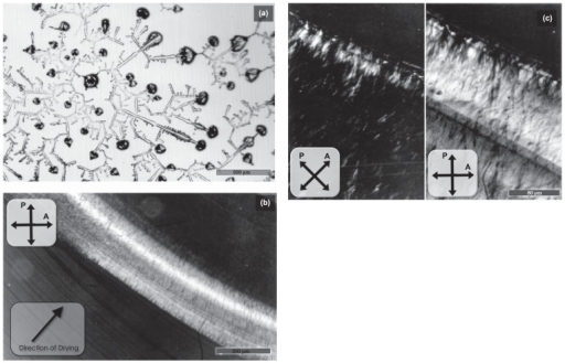 Polarizing micrograph showing the two-dimensional pattern formed by natural drying of BSA solution (a) and tropomyosin solution (b, c). Drying was performed according to method 1, as described in Materials and Methods. (a) Concentration of BSA, 1.0mg/ml. Solvent, 0.1M KCl, 0.5mM sodium bicarbonate. Scale bar, 500 μm. (b, c) Concentration of tropomyosin, 1.0mg/ml. Solvent, 1.0mM MgCl2, 0.5mM sodium bicarbonate. Photographs in (c) were taken by high magnification in a different place from that of (b). Scale bars, 250 μm (b) and 80 μm (c).